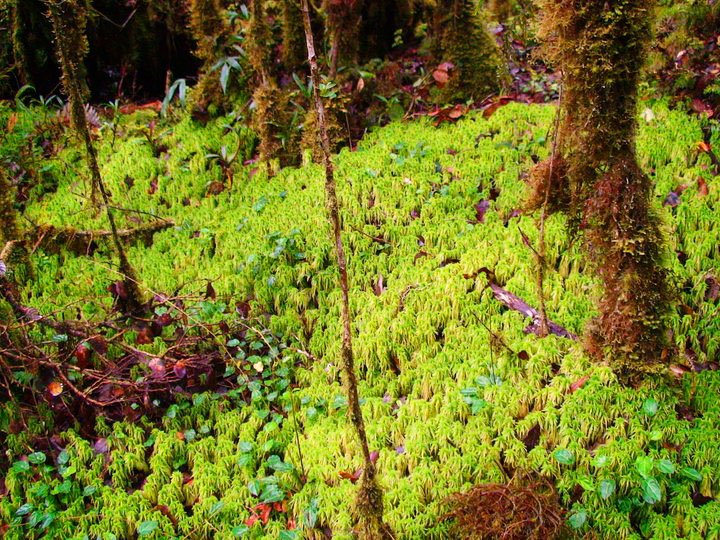 Mosses thrive at Siblaw Taraw, Barlig.