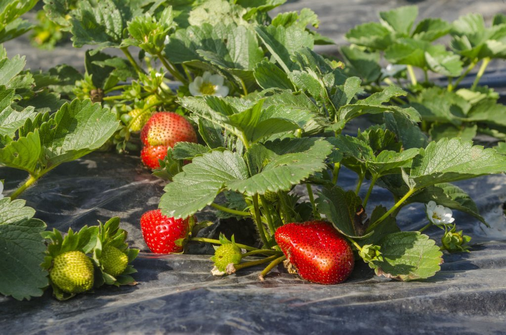 Benguet State University has strawberry farms.