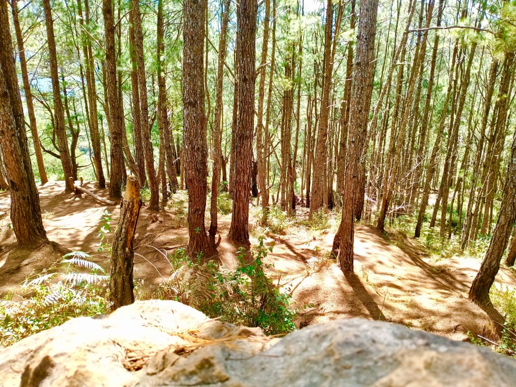 Pine forests can be seen along the way to Sagada hanging coffins
