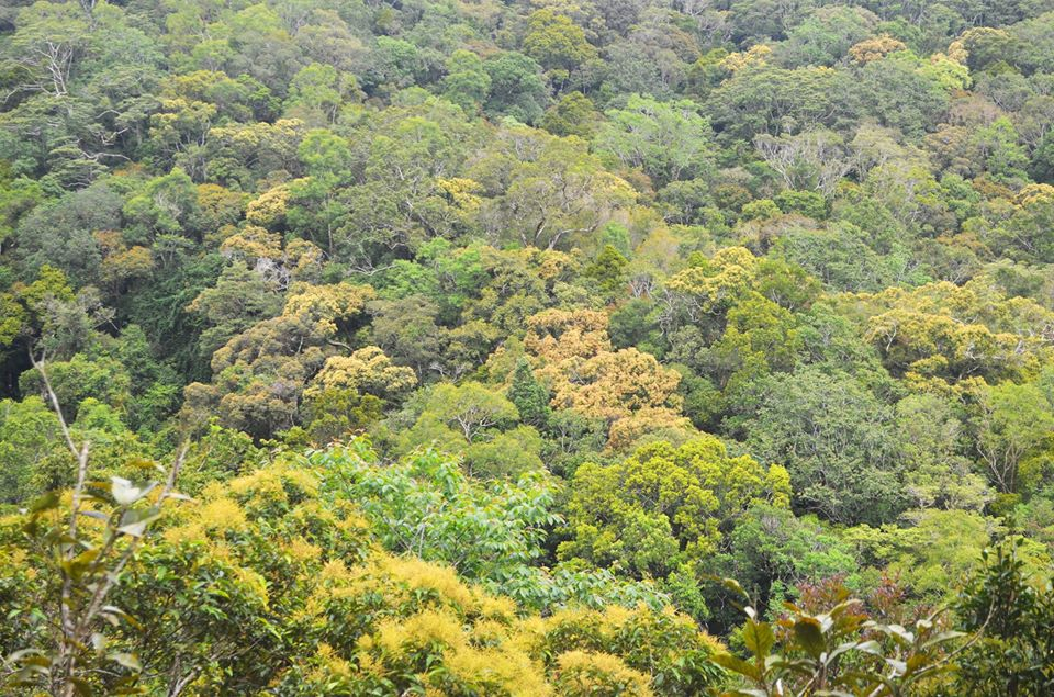 This forest is threatened by the Barlig road project